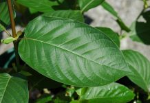 FDA threatens Kratom Ban again 2017